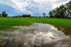 Campo de maíz del arroz con el cielo agradable Imagen de archivo