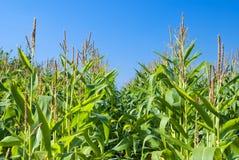 Campo de maíz del otoño Imagen de archivo libre de regalías