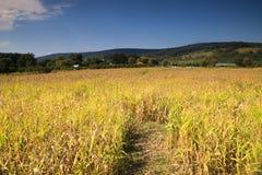 Campo de maíz del paisaje Virginia rural imágenes de archivo libres de regalías