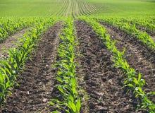 Campo de maíz del resorte Imagenes de archivo