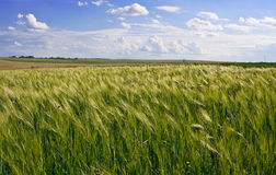 Campo de maíz del trigo Fotografía de archivo libre de regalías