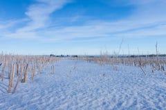 Campo de maíz del trigo de invierno bajo nieve Foto de archivo libre de regalías