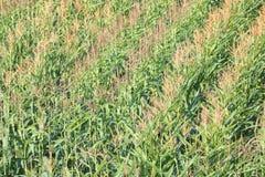 Campo de maíz del verano Imagen de archivo