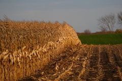 Campo de maíz del verano tardío Imagenes de archivo