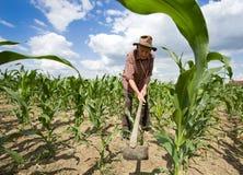 Campo de maíz del weeding con la azada fotografía de archivo libre de regalías