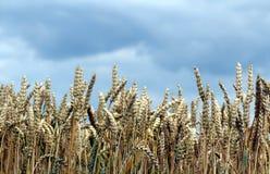 Campo de maíz delante de un cielo nublado horizontal Foto de archivo libre de regalías