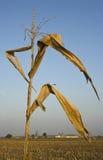 Campo de maíz después de la cosecha Fotografía de archivo libre de regalías
