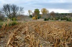 Campo de maíz después de la cosecha Fotos de archivo libres de regalías