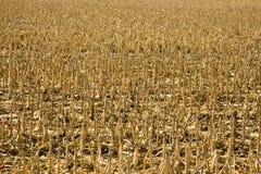 Campo de maíz después de la cosecha Imagenes de archivo