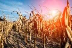 Campo de maíz destruido fotografía de archivo libre de regalías