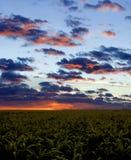 Campo de maíz durante puesta del sol Fotos de archivo
