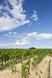 Campo de maíz en condiciones de la sequía fotografía de archivo libre de regalías