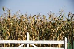 Campo de maíz en el Moldavia en la caída foto de archivo
