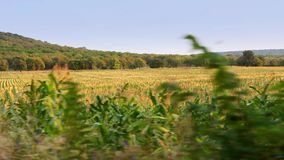 Campo de maíz en el movimiento almacen de metraje de vídeo