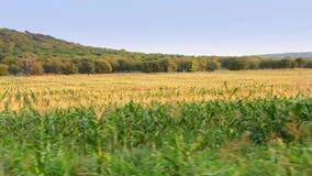 Campo de maíz en el movimiento metrajes
