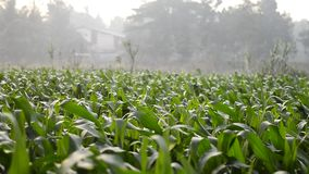 Campo de maíz en el vídeo de la cantidad de la mañana Scnene rápido almacen de video