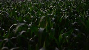 Campo de maíz en el vídeo de la cantidad de la mañana Scnene rápido metrajes