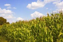 Campo de maíz en el verano 2 Imagen de archivo