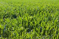 campo de maíz en el verano Foto de archivo