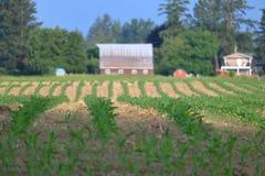 Campo de maíz en granja de la afición Fotos de archivo libres de regalías