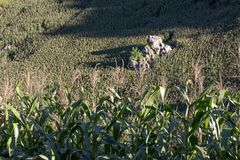 Campo de maíz en la colina Fotos de archivo libres de regalías