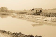 Campo de maíz en la estación seca, Tailandia Imágenes de archivo libres de regalías