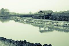 Campo de maíz en la estación seca, Tailandia Imagen de archivo libre de regalías