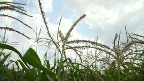 Campo de maíz en la floración almacen de metraje de vídeo