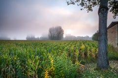 Campo de maíz en la niebla de la mañana Fotografía de archivo