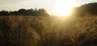 Campo de maíz en la puesta del sol Fotografía de archivo