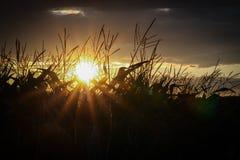 Campo de maíz en la puesta del sol Foto de archivo libre de regalías