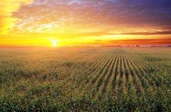 Campo de maíz en la puesta del sol Imagen de archivo