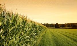 Campo de maíz en la puesta del sol Imagen de archivo libre de regalías
