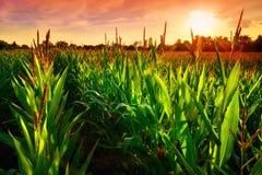 Campo de maíz en la puesta del sol fotografía de archivo libre de regalías