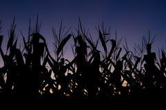 Campo de maíz en la puesta del sol Fotos de archivo