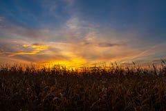 Campo de maíz en la puesta del sol Fotos de archivo libres de regalías