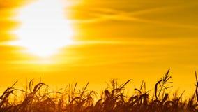 Campo de maíz en la puesta del sol amarilla imagen de archivo