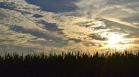 Campo de maíz en la salida del sol con las nubes Fotografía de archivo libre de regalías