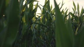 Campo de maíz en las mazorcas de maíz de la puesta del sol que cosechan en una granja almacen de video