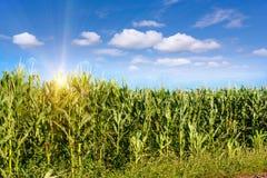 Campo de maíz en luz de la madrugada Foto de archivo libre de regalías
