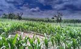 Campo de maíz en Moravia meridional Imagenes de archivo