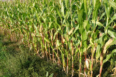 Campo de maíz en octubre Fotografía de archivo