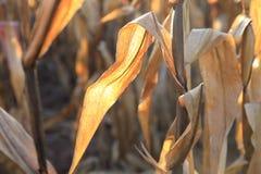 Campo de maíz en octubre Imágenes de archivo libres de regalías