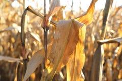 Campo de maíz en octubre Fotos de archivo