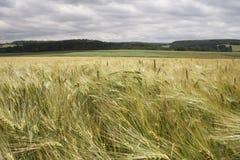Campo de maíz en paisaje Fotografía de archivo