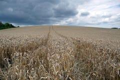Campo de maíz en Picardía Fotografía de archivo