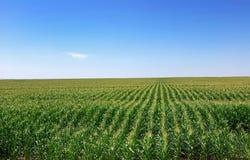 Campo de maíz en Portugal. Foto de archivo