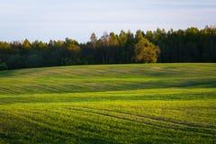 Campo de maíz en primavera temprana Fotografía de archivo libre de regalías