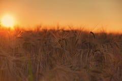 Campo de maíz en puesta del sol Fotografía de archivo