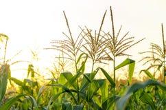 Campo de maíz en puesta del sol Foto de archivo libre de regalías